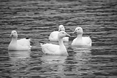SNOW GEESE (Lisa Plymell) Tags: nature nikond7200 blackandwhite snowgeese birds sigma150500 geese
