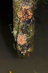 Eggs of Polypedates sp. (Pasha Kirillov) Tags: indonesia geo:country=indonesia sumatra kedah gunungleuser amphibians amphibia frog polypedates
