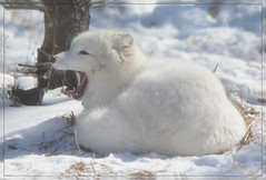 """Oh, ho-hum..gettin' kinda bored with all you onlookers today."" (Wolverine09J ~ 1 Million + Views) Tags: comozmar2017 arcticfox mammal zoowildlife fauna awakening latewinter minnesota habitat snowcovered frameit~level01 preciouslivingjewelsofnature sjohnsonsfauna musictomyeyes~l1 americaamerica lovelymotherearthii yourbestshot festivaloflightinternational stunningphotosartinternational artisticportraitsofallkinds exquisitecapture exquisiteportraits lovelylovelyphotosinternational l1treasuresofourplanet frameit~level02 naturethroughthelens 1goldwildlife spiritofphotography magiceye fantasticnaturegroup photossansfrontieres eblouissantenature lapetitegalerie faunafloralandscapes level1thewondersofnature treasuresofkeepyoureyesopen"
