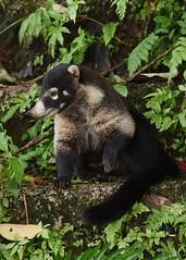 White-nosed Coati (anacm.silva) Tags: whitenosedcoati coati mammal mamífero wild wildlife nature natureza naturaleza costarica bocatapada