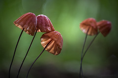 The light is calling (gnarlydog) Tags: fungi mushroom red bokeh closeup manualfocus macro kodakanastigmat63mmf27 vintagelens backlit contrejour forest rainforest nature australia shallowdepthoffield