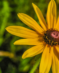 (amandalee1107) Tags: blackeyedsusan yellow golden goldenflower yellowflower summer summerflower