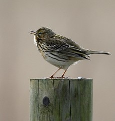 Meadow Pipit (Jillandcamera) Tags: meadowpipit lincs donnanook