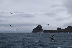 Heard Island Cormorants and Azorella Peninsula (laikolosse) Tags: heardisland heardislandexpedition seabirds cloudy nature outside antarctic subantarctic birds birding heardislandcormorant cormorant