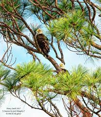 MINWR American Bald Eagles (NancySmith133) Tags: americanbaldeagle merrittislandnationalwildliferefuge blackpointwildlifedrive centralfloridausa eastcoast nationalparks