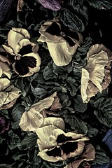Sonnenberg Gardens & Mansion ~ Historic Park ~ Canandaigua NY ~ Pansies (Onasill ~ Bill Badzo) Tags: garden pansy viola petals sonnenberg gardens mansion historic park canandaigua ny ontario county onasill nrhp flower queen anne architecture stamen light shadow finger lakes organic pattern texture bright plant serene food vegetable yellow outdoor photo border pink canon sl1 sigma lens 18255mm macro ontariocounty flowers fingerlake westernnewyork bokehs rebel 18250mm cluster petal black background depth field