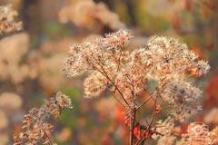 Fluff (JessVillanueva92) Tags: weed plant puffy soft white seeds flying floating wind carried dandelion trail hike rails trails elkmont alabama richard martin