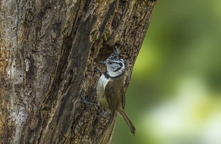 European crested tit - cleaning nest- female
