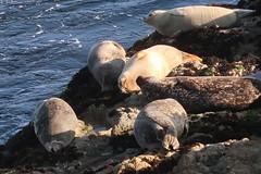 Seals basking at Sunset (as098_uk) Tags: monterey california g7x canong7xmkii canon mkii g7xmkii sunset basking seals