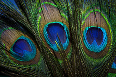 Windows to the Soul (Life_After_Death - Shannon Renshaw) Tags: peacock feather eye eyes blue green fan three 3 set bird birds plume plumage canon canoneos canoneos50d 50d eos dslr canondslr eosdslr canoneos50ddslr photography lifeafterdeath lifeafterdeathstudios lifeafterdeathphotography macro close detail