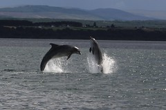 Jumping Dolphins, Scotland. (Seckington Images) Tags: dolphin scotland flickr wildlife water