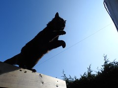 TAKE A LEAP OF FAITH (Poppy Cocqué ღ) Tags: sooty cat mycat mainecoon sky leap takealeapoffaith soundtrack amazinggrace cherokee prayer instrumental instrument ap poppy poppycocqué quote quotation jfkennedy outside outdoors pergola wood hedge leylandii givepeaceachance jfk gatti chat gato