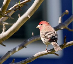 Male House Finch (Corgibird) Tags: cedarwaxwing birds backyardbirds berries yaponholly holly red green finch housefinch trees sunnyday flock flockofbirds yellow color warmcolors