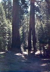 Mariposa Grove (rrodriguez16) Tags: rarb1950 bosque wood árboles trees sequoia mariposa groove yosemite national park parque nacional california usa analog film 35mm voigtländer bessamatic colorskopar 50mmf28 kodak kodachrome colorslides