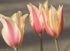 Three of a kind (Irina1010) Tags: flowers tulips pastel pink yellow macro bokeh beautiuful spring nature canon ngc npc