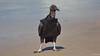 Black Vulture,, Iporanga Beach, Guaruja, Brazil CQ4A9171b (Hart Walter) Tags: serradomar birdsoftheatlanticforest santos guaruja ilhabela islandofsaosebastiao mealyamazon kite caracara kingfisher saopedronaturereserve blackvulture phyllomysthomasi giantatlantictreerat tanagers kelpgull bluedacnis brownboobie pigeon maskedwatertyrant neotropicalforest surfing squirrelcuckoo