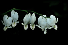 White Bleeding Hearts (River Wanderer) Tags: home garden backyard bleedinghearts wildflowergarden 55300 d5000 hennysgardens