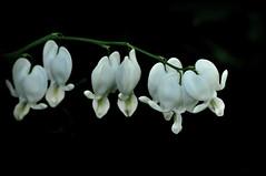 White Bleeding Hearts (River Wanderer) Tags: home garden backyard bleedinghearts wildflowergarden 55300 d5000 hennysgardens