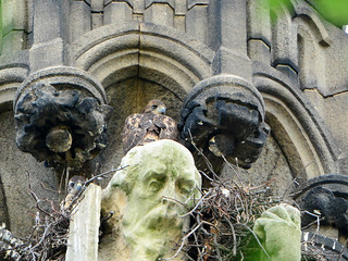 Cathedral Hawk Nestlings (1524)