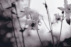 Nordic (AlmaArte Photography) Tags: uk flowers england blackandwhite flower macro blancoynegro photography nordic pho fotografa flwer almaarte stefaniavs