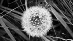 ephemeral (byronv2) Tags: scotland eastlothian coast coastal direlton yellowcraig nature plants flowers blackandwhite blackwhite bw monochrome dandelion seed seeds explore flickrexplore