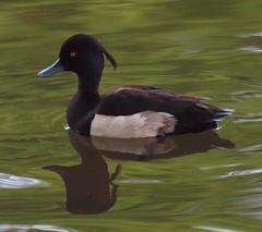 2014_06_0542 (petermit2) Tags: duck nottinghamshire tuftedduck clumber clumberpark
