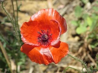 Poppy Papavero