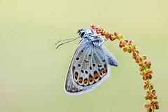 Silver Studded Blue 2014 #1 (GOLDENORFE) Tags: blue butterfly silverstuddedblue