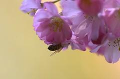 Hanging (fs999) Tags: pink flower macro fleur rose yellow jaune insect paintshop flying pentax tube rosa bee gelb 25 sdm paintshoppro blume makro insekt abeille insecte k5 biene corel bloem aficionados pentaxist 200mm artcafe kenko volant fliegend uniplus masterphotos 80iso dastar pentaxian pzaf ashotadayorso macrolife justpentax topqualityimage da200 zinzins flickrlovers topqualityimageonly fs999 fschneider pentaxart pentaxda200mmf28edsdm pentaxk5 paintshopprox6ultimate x6ultimate