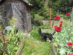 Five minutes with Roo at play (jinxmcc) Tags: playing garden edgewood bordercollie roo
