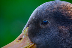 Just A Duck (Dave Bosworth Photography) Tags: bird eye duck westpark tasmania davebosworth nikond7100