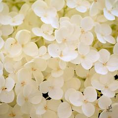 Bloesem (Jaap Pol) Tags: flowers flower macro tree nature closeup blossom natuur boom a200 bloesem bloemen alpha200