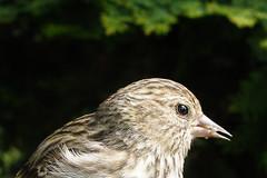 Pine Siskin profile (quinet) Tags: canada face closeup vancouver gesicht britishcolumbia pinesiskin visage 2007 carduelispinus