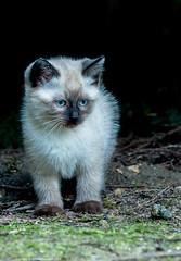 L'intrus (4) (Jrme Delahaye) Tags: chat olympus zuiko picardie chaton em1 50200swd