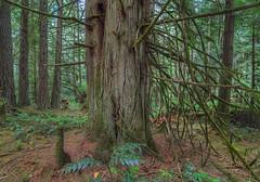 Heritage Grove Cedar (Heather_K_Jones) Tags: park trees canada colour forest moss woods rainforest bc britishcolumbia branches victoria vancouverisland pacificnorthwest lichen wilderness westcoast redcedar tranquilscene natrure oldgrowthforest yyj cedartrees horizontalphoto