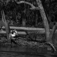 bush pelican on the alice (Fat Burns ☮) Tags: bird river landscape nikon pelican outback australianbird outbackqueensland d610 barcaldine aliceriver afsnikkor80400mmf4556gedvr