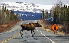 Watch for Moose! (JLS Photography - Alaska) Tags: road animal animals alaska landscape landscapes highway moose eland elch lastfrontier alaskalandscape jlsphotographyalaska