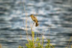 Female Red Winged Blackbird (Mike Fritcher) Tags: blur bird bokeh outoffocus blackbird femaleredwingedblackbird