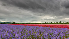 Confetti Field (jactoll) Tags: flowers light field landscape nikon confetti worcestershire nikkor delphinium wick pershore d610 1635mmf4 jactoll nikonfxshowcase