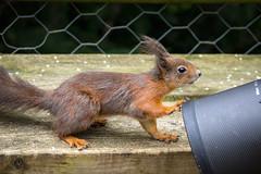 Excuse me, kind sir, do you have food? (hehaden) Tags: squirrel surrey bwc redsquirrel sciurusvulgaris lingfield britishwildlifecentre