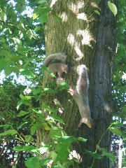 Chasing Squirrels (Nibbler1977) Tags: light shadow sky sun tree nature leaves canon fun outdoors leaf furry woods squirrel squirrels wildlife tail powershot climbing bark rodents tails chasing bushy a480