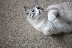 Cute Crowley (photographybot) Tags: pet cats pets animal cat kitty meow lynx