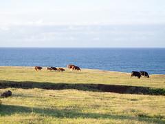 Cows (Yuxuan.fishy.Wang) Tags: hawaii cow highway unitedstates maui haleakala hana