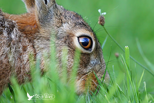 Uncropped hare