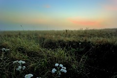 Sunday Morning Fog in Kansas, USA (thefisch1) Tags: fog sunrise nikon cattle web horizon spiderweb pasture dew kansas hereford grazing moisture humidity 1424 fenclilne
