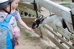 BM7Q3318.jpg (Idiot frog) Tags: boy cute animal canon children eos kid goat queenstown        1dx