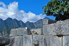 Machu Picchu hare () Tags: peru inca hare per machupicchu