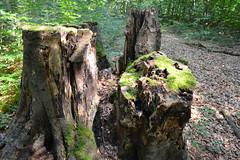 DSC_0081 (weynh) Tags: trees summer tree green nature forest groen belgium belgique belgie natuur vert zomer would wald arbre lete vos 2014