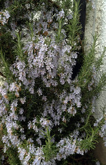 Rosmarinus officinalis 'Miss Jessop's Upright'
