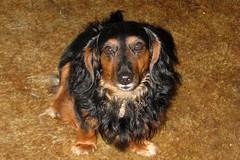 Kaiser (Mk) Tags: dog tan dachshund kaiser trav dumdum youngun shoresblack